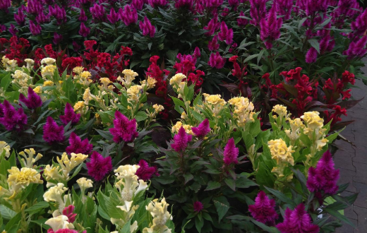 Celosia kopen | Tuincentrum Reble