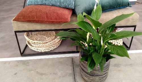 Spathiphyllum | Tuincentrum Rebel